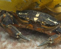 Image oysterhaven crab