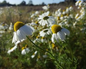 Image of ox eye daisies