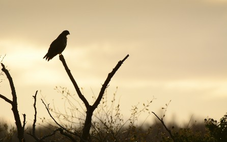 Image of buzzard