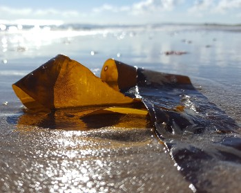 Close up picture of seaweed on a beach